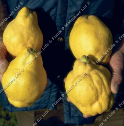 <font color=&quot;red&quot;>[DELIVERED 20th AUGUST 2015]</font> Meechs Prolific Quince Tree (Cydonia oblonga 'Meech's Prolific') DISEASE RESISTANT + SELF FERTILE + HEAVY CROPPING, 12 litre container  **FREE UK MAINLAND DELIVERY**