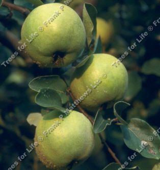 Serbian Gold Quince Tree (Cydonia oblonga 'Serbian Gold') Quince A Rootstock, 5-12L Pot, Supplied 120 to 250 cm.   **FREE UK MAINLAND DELIVERY **