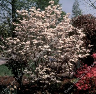<font color=&quot;red&quot;>DELIVERED AUGUST 2017</font> Rainbow North American Flowering Dogwood Tree (Cornus florida 'Rainbow') Supplied height 1.3 - 1.8m in a 7-12 litre container **FREE UK MAINLAND DELIVERY + FREE 100% TREE WARRANTY**