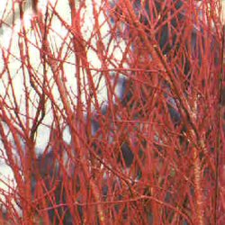 Red Barked Dogwood (Cornus alba) 20-40cm **FREE UK MAINLAND DELIVERY + FREE 100% TREE WARRANTY**