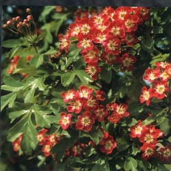 Red Hawthorn Tree (Crataegus laevigata `Crimson Cloud`) Supplied height 1.00 to 2.4 metres **FREE UK MAINLAND DELIVERY + FREE 100% TREE WARRANTY**