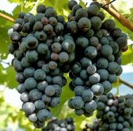 <font color=&quot;red&quot;>DELIVERED AUGUST 2018</font> Regent Vine Bush (Vitis vinifera 'Regent') Blue/Black Outdoor Grape, (LARGE GRAPES+ORNAMENTAL)  3 Litre pot, 2-3 years old **FREE UK MAINLAND DELIVERY + FREE 100% TREE WARRANTY**