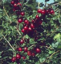 Gooseberry Bush Rokula (Red) Pack contains 7 Litre Containerised bushes 1/4 standard **FREE UK MAINLAND DELIVERY + FREE 100% TREE WARRANTY**