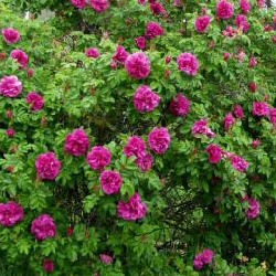 Buy Rose Bushes Online Cheap