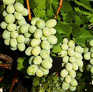 <font color=&quot;red&quot;>DELIVERED AUGUST 2017</font> Royal Muscadine Grape Vine Bush (Vitis vinifera 'Muscat Alexandria')White Indoor Grape,  3 Litre Pot, 2-3 years old **FREE UK MAINLAND DELIVERY + FREE 100% TREE WARRANTY**