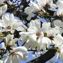 Royal Star Magnolia Tree/Bush (Magnolia stellata 'Royal Star') Height 60-1.20cm, 2-3 Years Old **FREE UK MAINLAND DELIVERY + FREE 100% TREE WARRANTY**