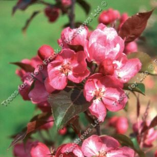 <font color=&quot;red&quot;>DELIVERED AUGUST 2017</font> Rudolph Crab Apple Tree (Malus 'Rudolph') Supplied height 1.5 - 2.0m in a 12 litre container **FREE UK MAINLAND DELIVERY + FREE 100% TREE WARRANTY**