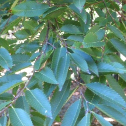 Saw-Leaf or Chinese ElmTree (Zelkova serrulata `Kiwi Sunset`) Supplied height 1.5 and 1.7 metres in a 12 litre container **FREE UK MAINLAND DELIVERY + FREE 100% TREE WARRANTY**