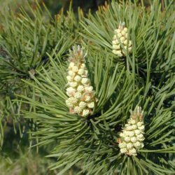 Scots Pine Tree (Pinus sylvestris) 10-30cm Trees**FREE UK MAINLAND DELIVERY + FREE 100% TREE WARRANTY**