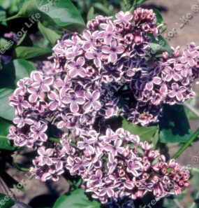 Sensation Lilac Tree  / shrub (Syringa vulgaris 'Sensation') Supplied 50-120cm, 7- 12 litre Pot, 2-3 Years old CHALK TOLERANT + FRAGRANT **FREE UK MAINLAND DELIVERY + FREE 100% TREE WARRANTY**