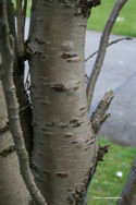Prunus Amanogawa Flagpole Cherry Tree bark