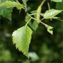 Silver Birch Tree (Betula Alba Pendula) 2-3 Years old,  1.2-2.6 m, SPECIMEN TREE + AWARD + WET + DROUGHT + WINDBREAK + FAST GROWING + LOW MAINTENANCE **FREE UK MAINLAND DELIVERY + FREE 100% TREE WARRANTY**
