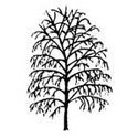 Bare Root Silver Birch Tree shape