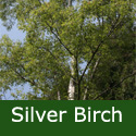 Bare Root Silver Birch Tree