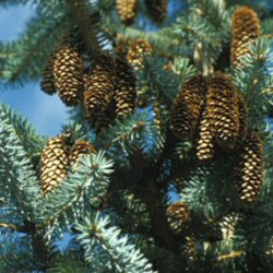 Sitka Spruce Tree (Picea sitchensis) 20-40cm Trees**FREE UK MAINLAND DELIVERY + FREE 100% TREE WARRANTY**