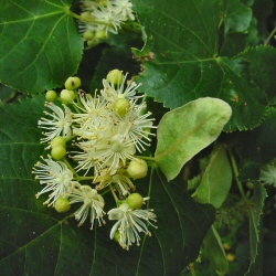 Small Leaved Lime Tree (Tilia cordata) 20-40cm Trees**FREE UK MAINLAND DELIVERY + FREE 100% TREE WARRANTY**