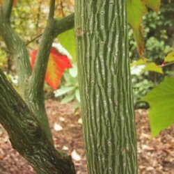 Snake Bark Maple (Acer capillipes) Supplied height 1.5 to 2.0 metres in a 5-12 litre container **PRICE INCLUDES FREE UK MAINLAND DELIVERY**