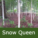 Betula Snow Queen