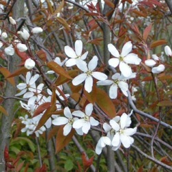 Snowflakes Snowy Mespilus Tree Snowflakes (Amelanchier laevis `Snowflakes`) Supplied height 1.5 to 2.0 metres in a 5-12 litre container **FREE UK MAINLAND DELIVERY + FREE 100% TREE WARRANTY**