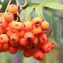 Mountain Ash Tree or Rowan Tree (Sorbus Aucuparia) 20-40cm Trees**FREE UK MAINLAND DELIVERY + FREE 100% TREE WARRANTY**