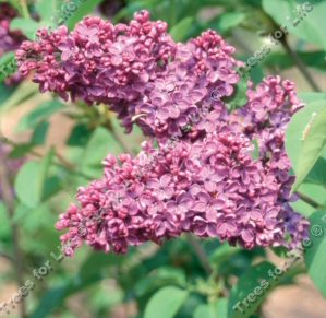 Souvenir de Louis Spaeth Lilac Tree  / shrub (Syringa vulgaris 'Souvenir de Louis Spaeth'') Supplied height 50-120cm in a 7-12 litre container **FREE UK MAINLAND DELIVERY + FREE 100% TREE WARRANTY**