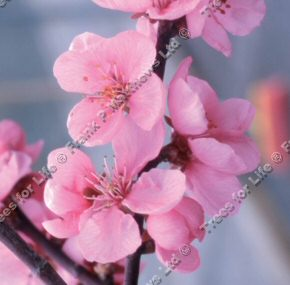 Spring Glow Flowering Cherry Tree (Prunus cerasifera 'Spring Glow') Supplied height 1.5 - 2.2m in a 5-12 litre container **FREE UK MAINLAND DELIVERY + FREE 100% TREE WARRANTY**