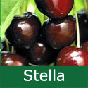 SELF FERTILE (GROUP D) Bare Root Stella Cherry Tree, 1.5-2 metres tall, 1-3 years old,  (VERY POPULAR + EATING + JUICY + NORTH UK + AWARD + RELIABLE LARGE FRUIT + CONTAINER) **FREE UK MAINLAND DELIVERY + FREE 100% TREE WARRANTY**