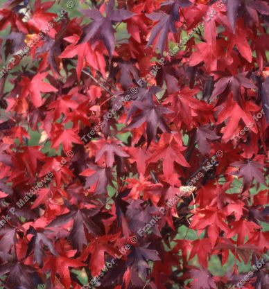 Styraciflua Sweet GumTree (Liquidamber styraciflua) Supplied height 1.25 metres supplied in a 12 litre container **FREE UK MAINLAND DELIVERY + FREE 100% TREE WARRANTY**