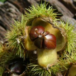 Sweet Chestnut Tree (Castanea sativa) 20-40cm Trees**FREE UK MAINLAND DELIVERY + FREE 100% TREE WARRANTY**