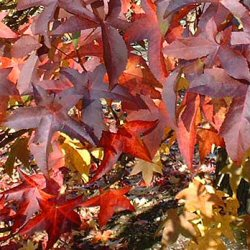 Worplesdon Sweet Gum Tree (Liquidamber styraciflua 'Worplesdon') Supplied height 1.5 to 1.7 metres in a 12 litre container **FREE UK MAINLAND DELIVERY + FREE 100% TREE WARRANTY**