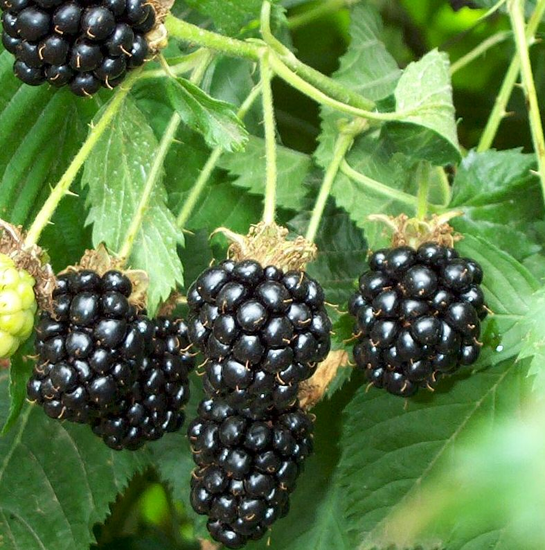 http://www.trees-online.co.uk/images/thornfree-blackberry-soft-fruit-bush.jpg