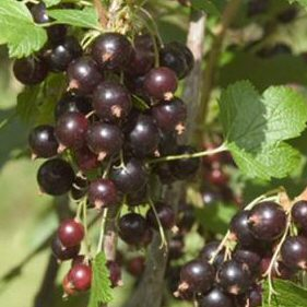 Titania Blackcurrant Bush (Mid Season Variety) Supplied in 7 litre containers, 1/4 Standard, LARGE QUALITY FRUIT, DISEASE RESISTANT,  **FREE UK MAINLAND DELIVERY + FREE 100% TREE WARRANTY**