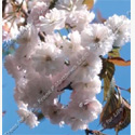 <font color=&quot;red&quot;>DELIVERED AUGUST 2019</font> Bare Root Spring Snow (Beni-tamanishiki) Japanese Flowering Cherry Tree 1.25-1.75m, SMALL TREE + AUTUMN COLOURS **FREE UK MAINLAND DELIVERY + FREE 100% TREE WARRANTY**