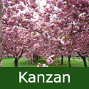 Bare Root Kanzan Japanese Flowering Cherry Tree 1.25-2.0m VERY POPULAR + **FREE UK MAINLAND DELIVERY + FREE 100% TREE WARRANTY**