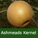 C4 BARE ROOT Ashmeads Kernel Eating Apple, 1-2m Tall, Fruits October, SCAB RESISTANT + SHARP INTENSE FLAVOUR **FREE UK MAINLAND DELIVERY + FREE 100% TREE WARRANTY**