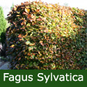 Common Beech Hedging Tree (Fagus sylvatica) 20-40cm Trees, AWARD + SHADE + EXPOSED SITES + POPULAR + SEMI-EVERGREEN + WINDBREAK + NATIVE + PARK TREE **FREE UK MAINLAND DELIVERY + FREE 100% TREE WARRANTY**