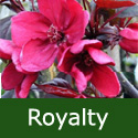 Bare Root Royalty Crab Apple Tree 125+cm, 2+ years old, AWARD + SMALL + PURPLE LEAVES + DISEASE RESISTANT + RED FLOWERS **FREE UK MAINLAND DELIVERY + FREE 100% TREE WARRANTY**