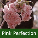 Bare Root Pink Perfection Flowering Cherry Tree , LONG LASTING FLOWERS + SMALL TREE + LOW MAINTAINENCE  + AWARD **FREE UK MAINLAND DELIVERY + FREE 100% TREE WARRANTY**