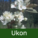 Bare Root Ukon Japanese Flowering Cherry Tree.  Supplied height 1.25 - 2.0m, 2+ years old, MEDIUM + AWARD **FREE UK MAINLAND DELIVERY + FREE 100% TREE WARRANTY**