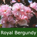 Bare Root Flowering Cherry Royal Burgundy Tree, 125+ cm, MEDIUM + PURPLE LEAVES + ATTRACTIVE BARK **FREE UK MAINLAND DELIVERY + FREE 100% TREE WARRANTY**