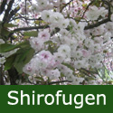 Bare Root Shirofugen Japanese Flowering Cherry Tree 2+ years old,  FAST GROWING + LATE  & LONG FLOWERING + AWARD **FREE UK MAINLAND DELIVERY + FREE 100% TREE WARRANTY**