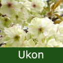 Bare Root Ukon Japanese Flowering Cherry Tree.  Supplied height 1.25 - 2.0m, MEDIUM + AWARD **FREE UK MAINLAND DELIVERY + FREE 100% TREE WARRANTY**