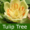 Tulip Tree (Liriodendron tulipifera) Supplied height up to 2.20 metres, 2-3 years old, ORNAMENTAL + AWARD + FAST GROWING + CHALK TOLERANT  **FREE UK MAINLAND DELIVERY + FREE 100% TREE WARRANTY**