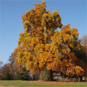 <font color=&quot;red&quot;>DELIVERED AUGUST 2018</font> Tulip Tree (Liriodendron tulipifera) Supplied height up to 2.20 metres, 2-3 years old, ORNAMENTAL + AWARD + FAST GROWING + CHALK TOLERANT  **FREE UK MAINLAND DELIVERY + FREE 100% TREE WARRANTY**