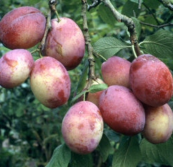 Victoria Plum Tree (C3) Eating, Fruits Mid August, Supplied Height 1.5m-2.0m, 2-3 Years Old, 12L pot, SELF FERTILE + VERY POPULAR +FREE UK MAINLAND DELIVERY + 100% TREE WARRANTY