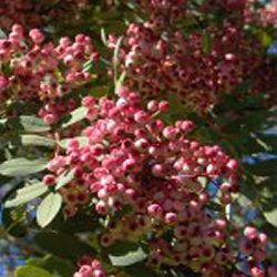 Vilmorin Rowan Tree (Sorbus vilmorinii) Supplied Height 1.80m in a 12 litre container  **FREE UK MAINLAND DELIVERY + FREE 100% TREE WARRANTY**