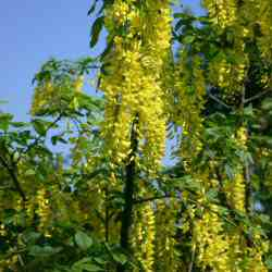 Voss Laburnum Tree (Laburnum x watereri 'Vossii') Supplied height 1.2 to 2.4 metres in a 5-15 litre container **PRICE INCLUDES FREE UK MAINLAND DELIVERY**