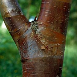 Wakehurst Place Chocolate Birch Tree (Betula utilis Wakehurst Place Chocolate) Supplied height 150 - 200cm in a 7-12 litre container **FREE UK MAINLAND DELIVERY + FREE 100% TREE WARRANTY**