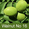 Walnut (Juglans) No 16. 2+ Years Old, 1-2 metres tall, LARGE CROPS ***FREE UK MAINLAND DELIVERY + FREE 100% TREE WARRANTY***