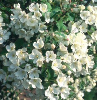 <font color=&quot;red&quot;>DELIVERED AUGUST 2018</font> Wedding Bouquet Crab Apple Tree (Malus brevipes 'Wedding Bouquet') Supplied height 1.5 - 2.0m in a 12 litre container **FREE UK MAINLAND DELIVERY + FREE 100% TREE WARRANTY**